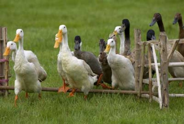 Ducks in animal show
