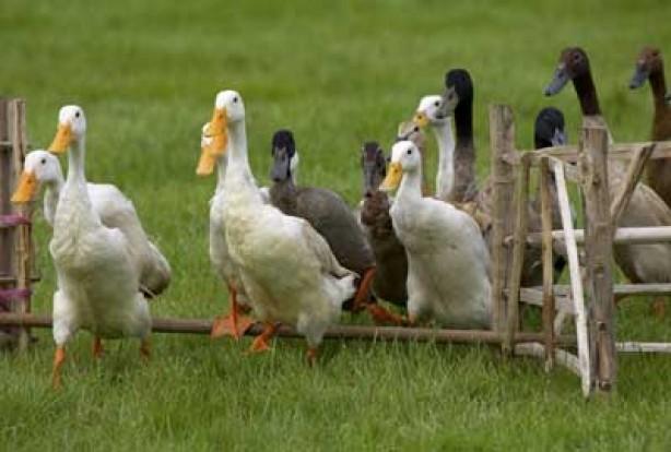 Ducks in animal show