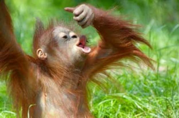 Baby orangutang_istock