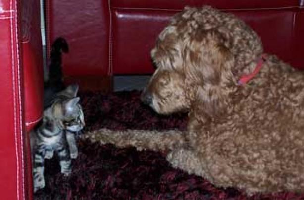 Max the poodle, pet photos