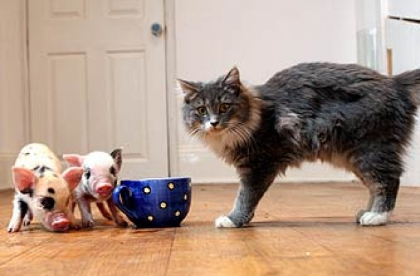 funny animals, funny animal pics, animal pics, cat, piglets