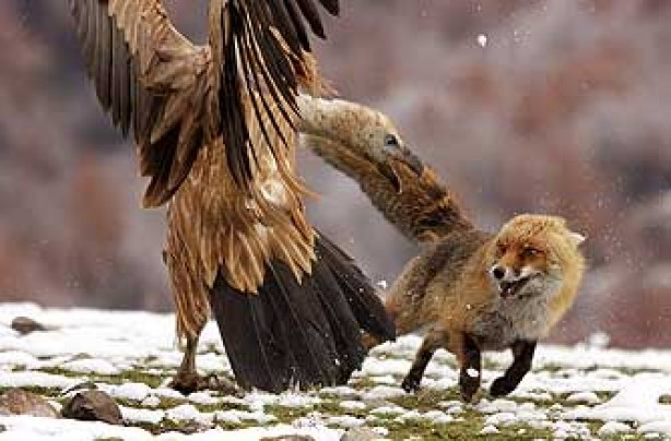funny animals, funny animal pics, animal pics, eagle, fox