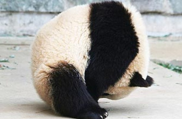 funny animals, funny animal pics, animal pics, panda playing