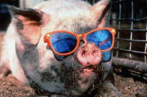 funny animals, funny animal pics, animal pics, pig, sunglasses
