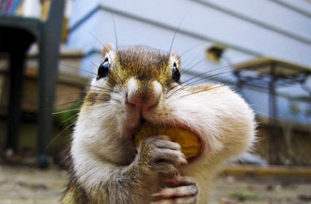 Chipmunk, funny animal picture