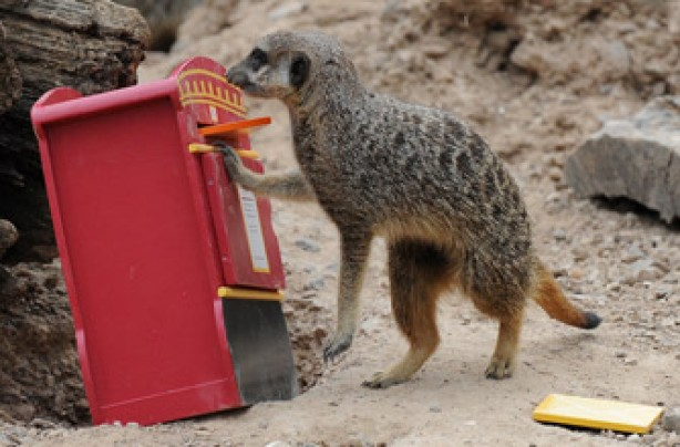 Meerkat, funnny animal picture