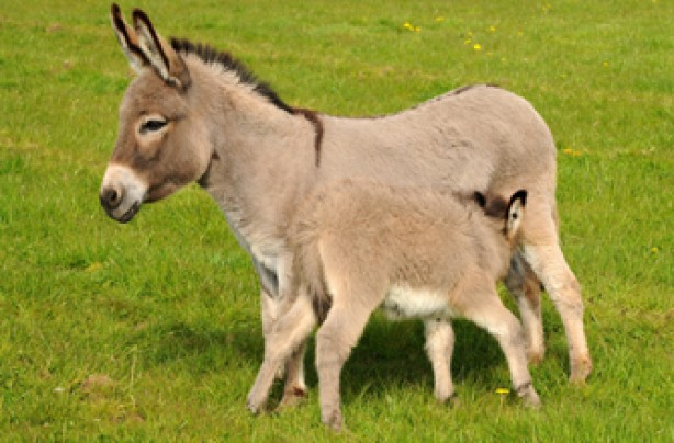 Miniature donkey, donkey, funny animal pic,