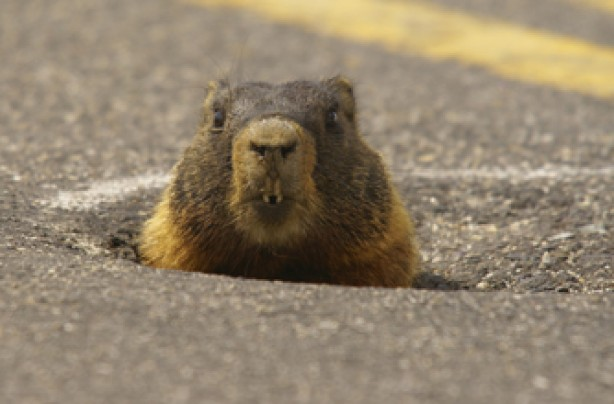 Peeping marmot, funny animal pic