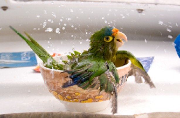Parrot taking a dip, funny animal pic
