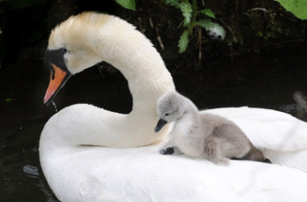 Swan and duckling