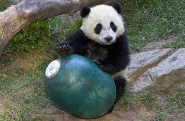 Panda, funny animal picture