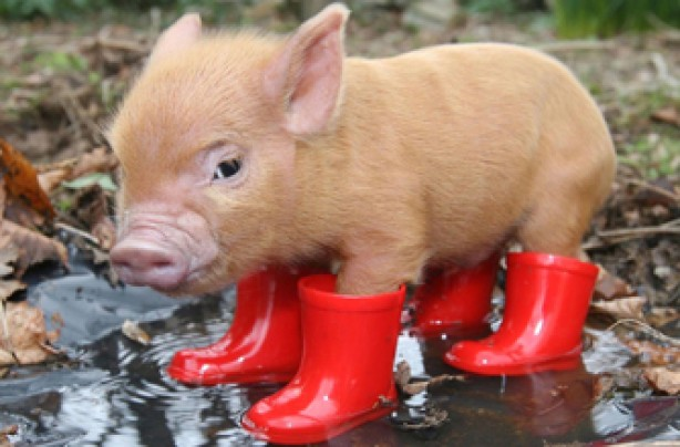 Piggy in wellies, funny animal pics