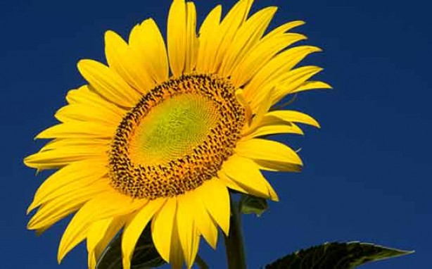 Money saving tips for mums: Plant sunflower seeds