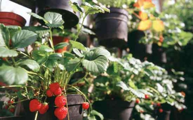 Gardening for kids: Grow your own fruit
