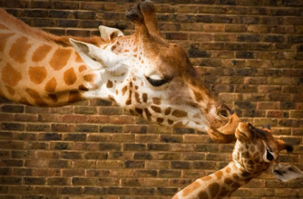 Giraffe, funny animal pictures