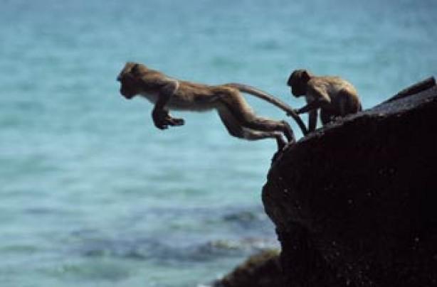 Daredevil monkeys