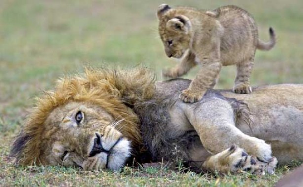 Lion and cub, funny animal pic