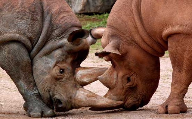 Rhinos, funny animal pic