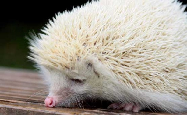 Funny animal pictures: The albino hedgehog