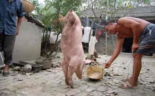 Two-legged pig