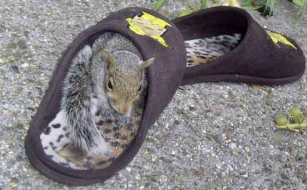 Squirrel asleep in slipper