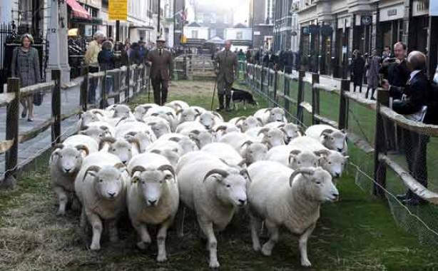 Sheep in London