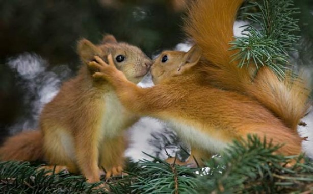 Squirrels kissing