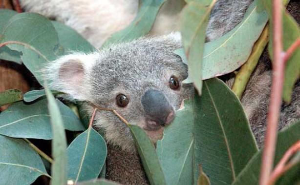 Aromatherapy - essential oils, eucalyptus