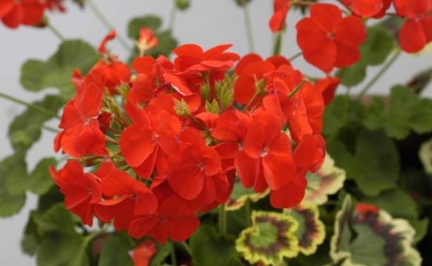 Aromatherapy - essential oils, geranium