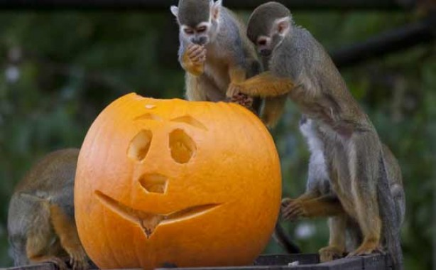 Monkeys with Halloween pumpkin