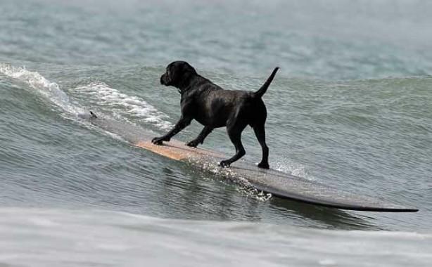 Dan Dan the surfing dog