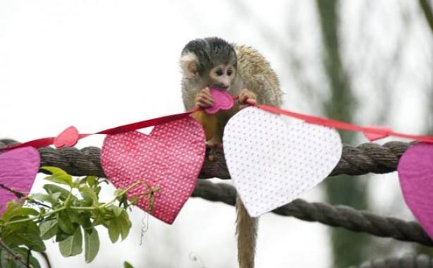 Valentine's monkey