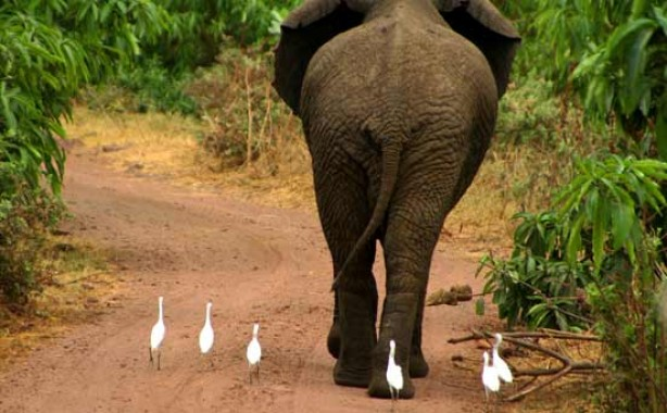 Elephant and birds