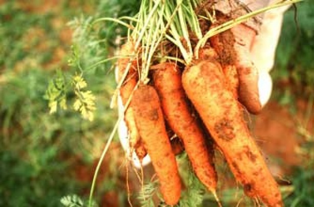 Grow your own carrots