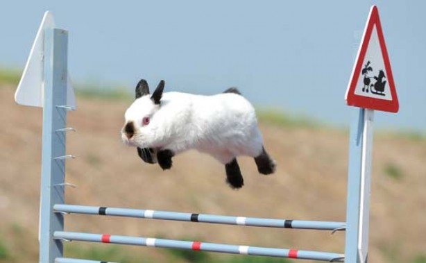 Funny animal pics: Show jumping rabbit