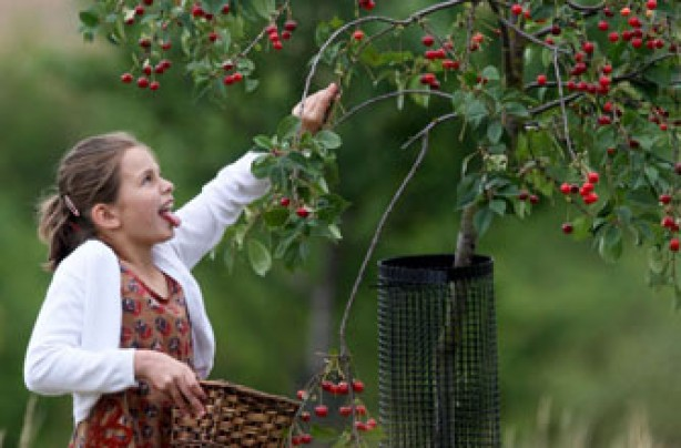 young girl fruit picking