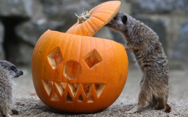 funny animal pictures, animals with pumpkins, halloween, halloween animals, animals and pumpkins,