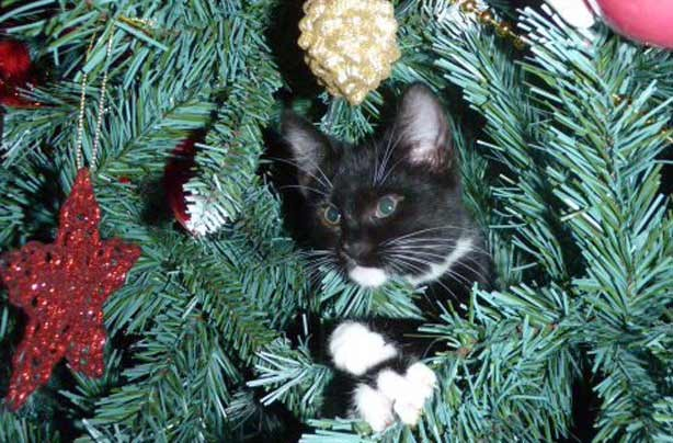 Lisa Carroll's cat in the Christmas tree