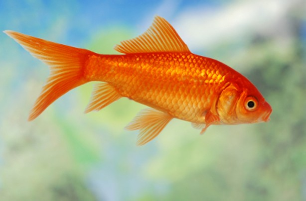 Choose the right family pet: Fish