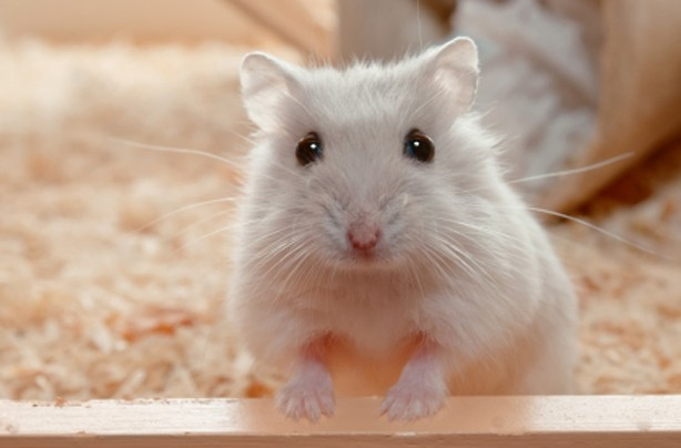 Choose the right family pet: Hamsters