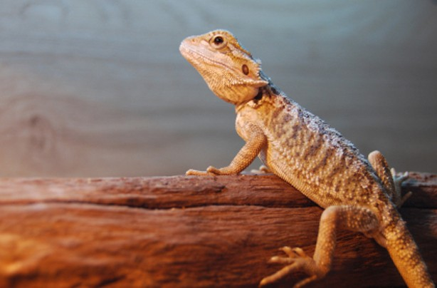 Choose the right family pet: Reptiles