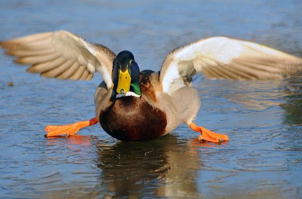 Duck sliding on the ice