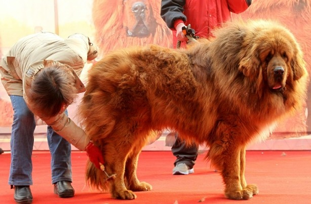 �1million Tibetan mastiff!
