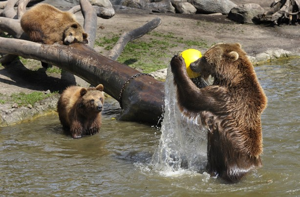 Bears having a ball