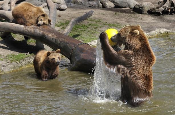 Bears having a ball
