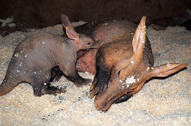 Mum and baby aardvark