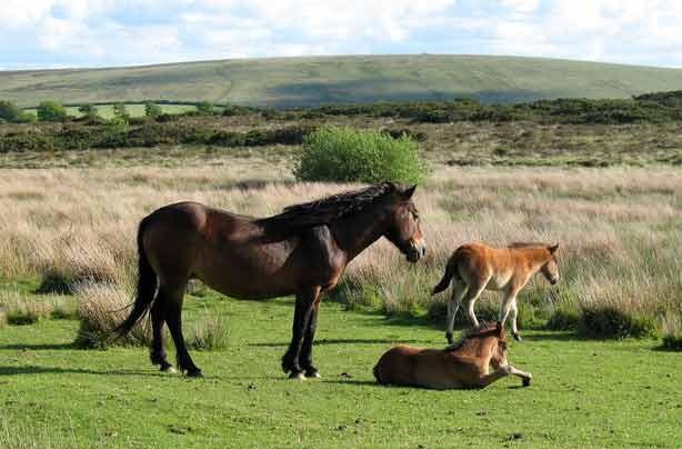 Exmoor Ponies_Visit Exmoor