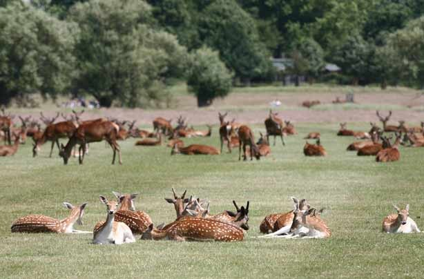 Deer Richmond Park_credit_Giles Barn