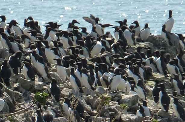 Guillemots - Credit - Visit Pembrokeshire