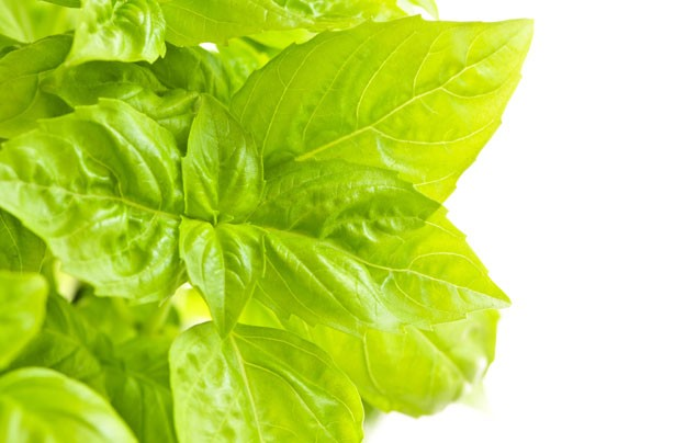 Basil boosts sun protection